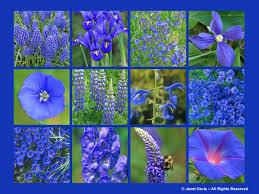 blue flowers designing with blue blossoms janet davis explores