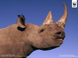 black rhinoceros wwf