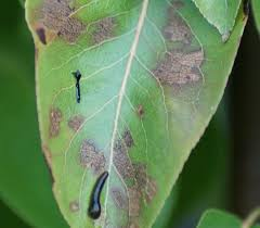 prevent identify and treat pear tree pests and diseases in the uk