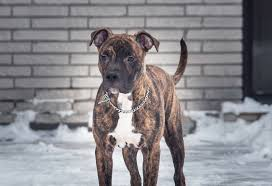 american pit bull terrier brindle view topic the truth pitbull bully breeds rp new u0026accepting