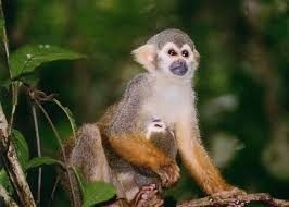 squirrel monkey facts history useful information and amazing