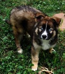 5280 australian shepherd hazel german shepherd puppy for sale in columbus oh lancaster