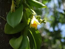 vanilla orchid events the florida vanilla vine a big climbing orchid