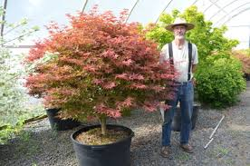 acer palmatum rhode island japanese maples ornamental trees