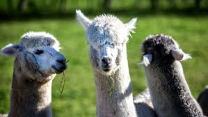 Alpaca Duvets Company Manager And Director Fined Almost 200k For False Alpaca