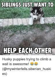 Siberian Husky Meme - 25 best memes about siberian husky siberian husky memes