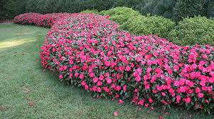 impatiens flowers planting annuals impatiens with
