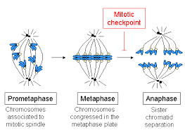 metaphase plate definition u0026 concept study com