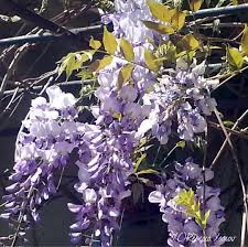 Home Decor Meaning Meaning Of Flower Colors Smell The Flowers Blog Wisteria By Com