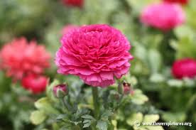www flowers ranunculus flower pictures