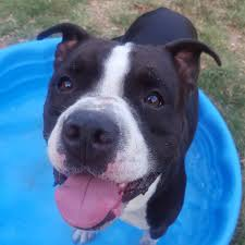 american pit bull terrier lab mix austin pets alive available dogs austin pets alive