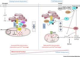 mitochondria associated membranes response to nutrient