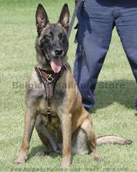 belgian shepherd easy to train get belgian malinois leather harness