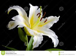 white lilly white on black background stock image image of colored