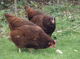 Best Backyard Chicken by A Chicken Keeper U0027s Blog Chickens Top 5 Best Egg Laying Pure Breeds