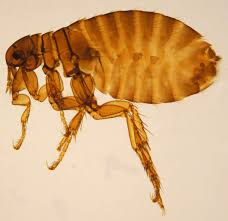 the promiscuous human flea contagions