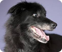 belgian shepherd dog rescue 2 20 special needs senior belgian shepherd mix dog for