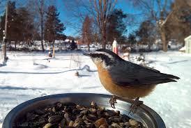 100 michigan backyard birds 9 best backyard birds images on