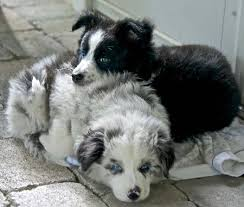australian shepherd and border collie mix scout the border collie mix this is just so sweet scout with her