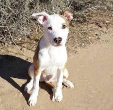 australian shepherd weiner dog mix view ad american staffordshire terrier australian shepherd mix