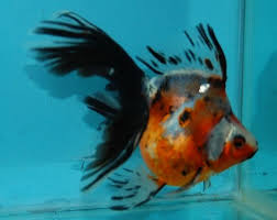 best 25 goldfish for sale ideas on angry