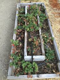 Strawberry Garden Beds Fall Strawberry Planting And Winter Strawberry Care Digging The