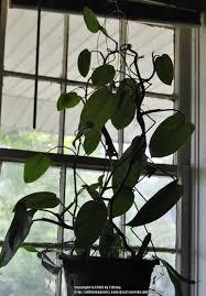 houseplants forum trellises u0026 poles and the plants that love