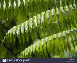 como shambhala estate bali indonesia fern leaves stock photo