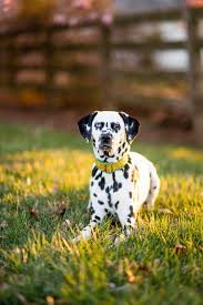 happy tails saoirse dalmatian daily dog tagdaily dog tag