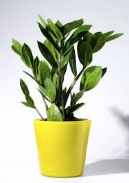 zamioculcas zamiifolia indoor plant in yellow pot zamioculcas