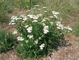 native california plants white yarrow png 1339 1032 gardens perennial sun pinterest