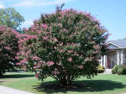 Front Yard Tree Landscaping Ideas Top Trees For Your Front Yard Landscaping Network