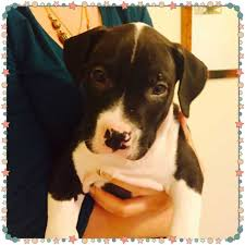 american pitbull terrier 5 months old american pit bull terrier page 6 for sale ads free classifieds