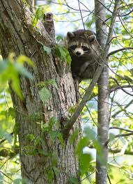 Cheap Coon Hunting Lights Coon Hunting 101 Raccoon Hunting Tips And How To Hunt These Vermin
