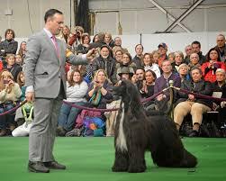 yarrow affenpinscher dog show 2014 10 05