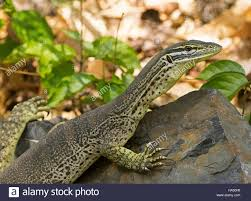 close up of australian lace monitor lizard goanna varanus varius