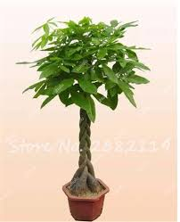 online shop 5 pcs money tree seeds indoor balcony bonsai tree