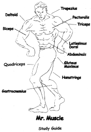 muscular system identification bunch ideas of muscular system