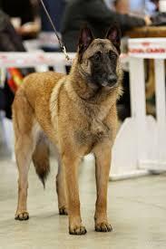 belgian shepherd national specialty berger belge u0026 amis may 2013