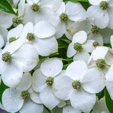 white flowering dogwood southern living plant collection 2 5 qt empress of china dogwood
