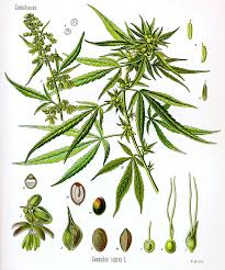 native plant definition cannabis wikipedia