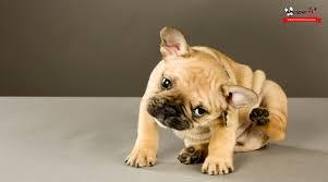 bulldog y boxer 10 razones para no adoptar o comprar un bulldog francés