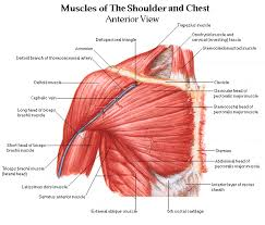 shoulder muscles and chest human anatomy diagram shoulder