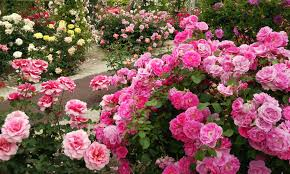 Image Flower Garden by 4k Most Beautiful Rose Flowers Flower Shrubs And Colorful Garden