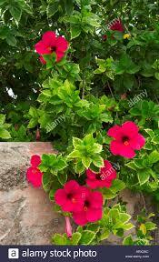 georgetown flowers hibiscus flowers growing along a fence in georgetown bermuda