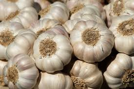 hardest plant to grow garlic planting growing and harvesting garlic plants the old