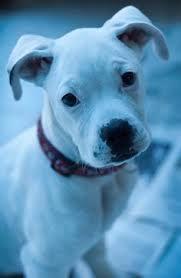 boxer dog quebec am i a good boy