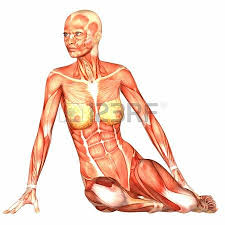 Female Abdominal Anatomy Pictures Abdominal Muscle Images U0026 Stock Pictures Royalty Free Abdominal