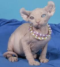 sphynx cattery baby rah