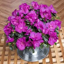 Buy House Plants Flowering House Plants Purple Interior Design
